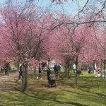 Kukkivia kirsikkapuita ja ihmisiä puistossa.