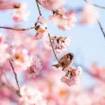 Kirsikankukkia ja pikkulintu oksalla.